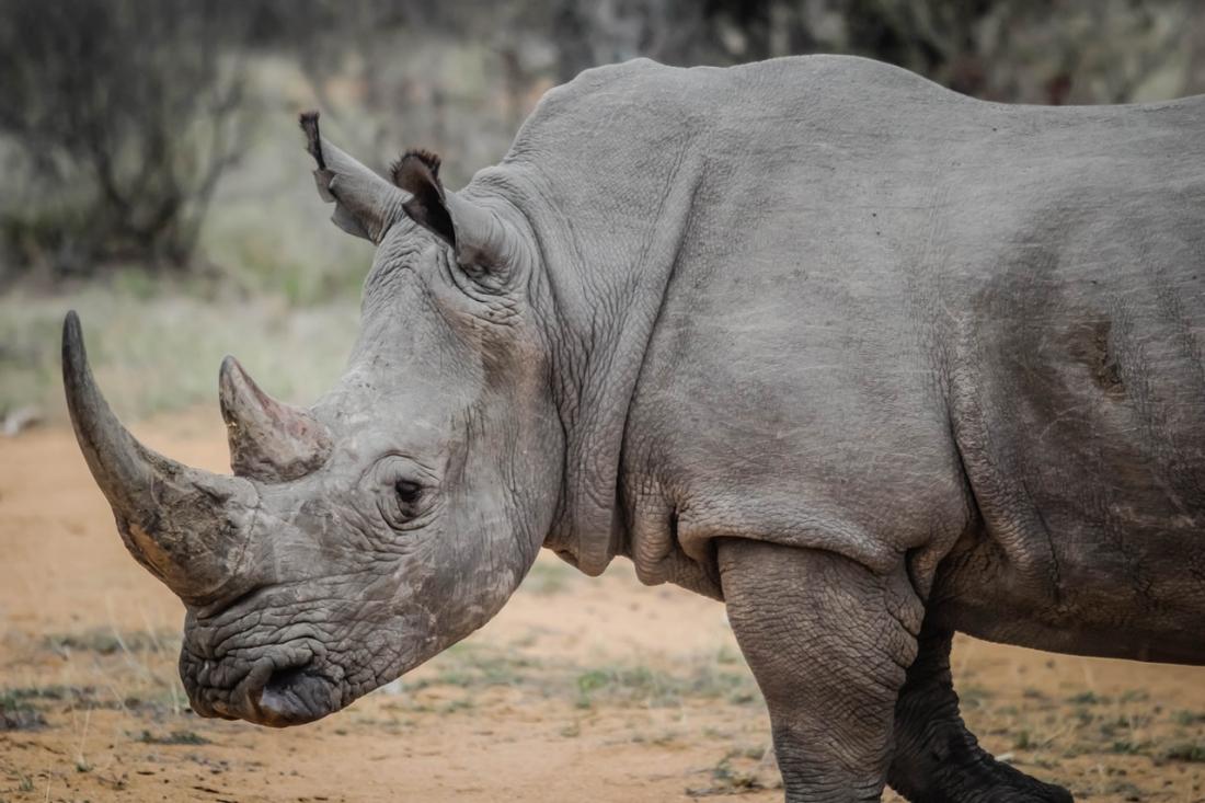 A gray rhinoceros – Casey Allen